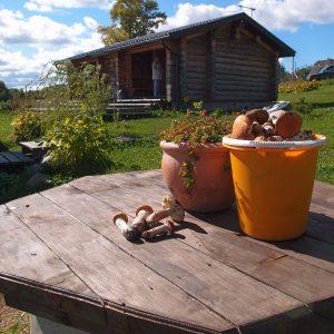 Грибы собирают рядом с домиком с терраской на Селигере